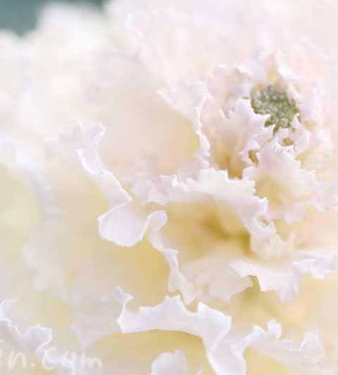 ハボタン(白い葉牡丹)の写真|ハボタンは食べられる?