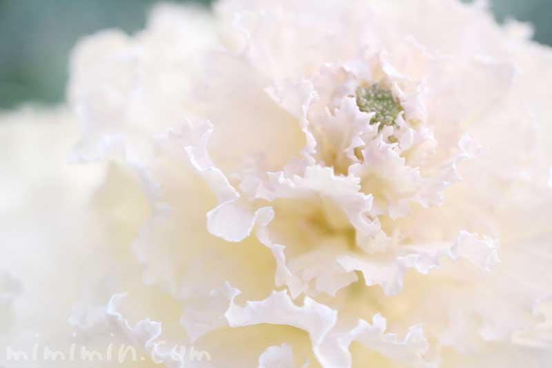 白い葉牡丹の写真と花言葉の画像