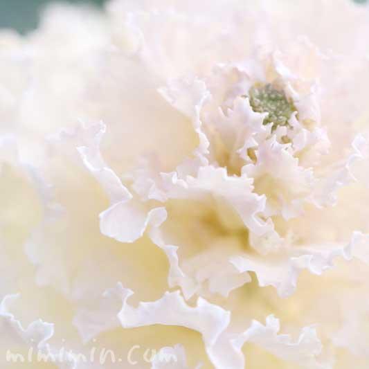 白い葉牡丹の写真 花言葉 誕生花の画像