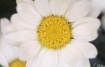 マーガレットの花の写真と花言葉