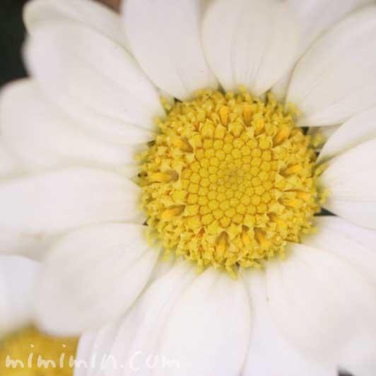 マーガレットの写真と花言葉