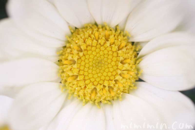 マーガレットの花の写真・花言葉の画像