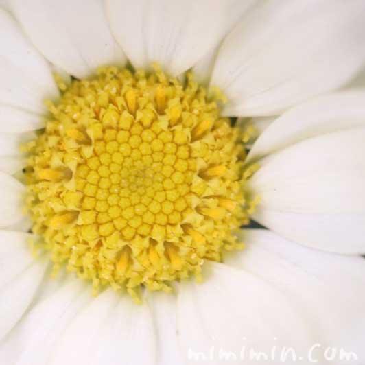 マーガレットの写真・花言葉の画像