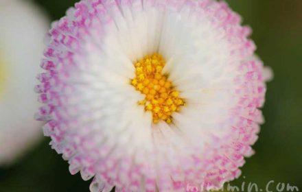 デージー(ひなぎく)の花の写真と花言葉の画像