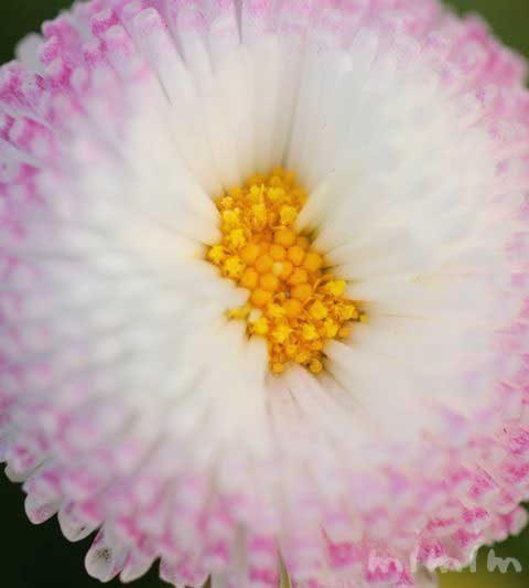 デージー(ひなぎく 雛菊)|花の写真・花言葉