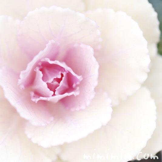 葉牡丹(白)