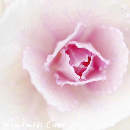 ハボタン・葉牡丹(白)