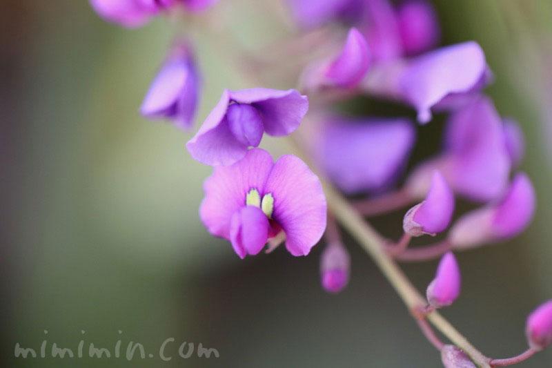 ハーデンベルギア(紫)の画像