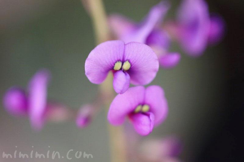 ハーデンベルギアの花(紫)の写真