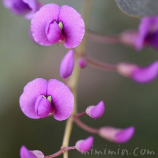 ハーデンベルギア(紫)