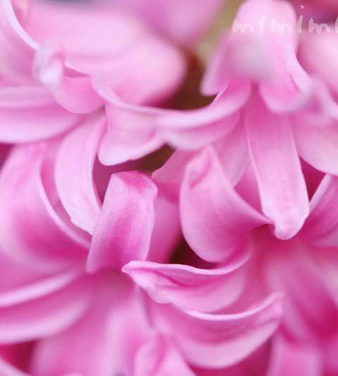 ヒヤシンスの花言葉・誕生花・毒性