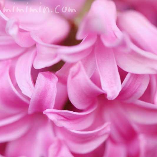 ヒヤシンス「フォンダンテ」の花の写真