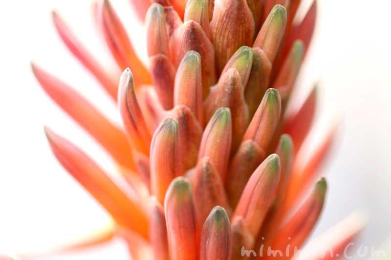 赤いアロエの花・アロエの花言葉・誕生花