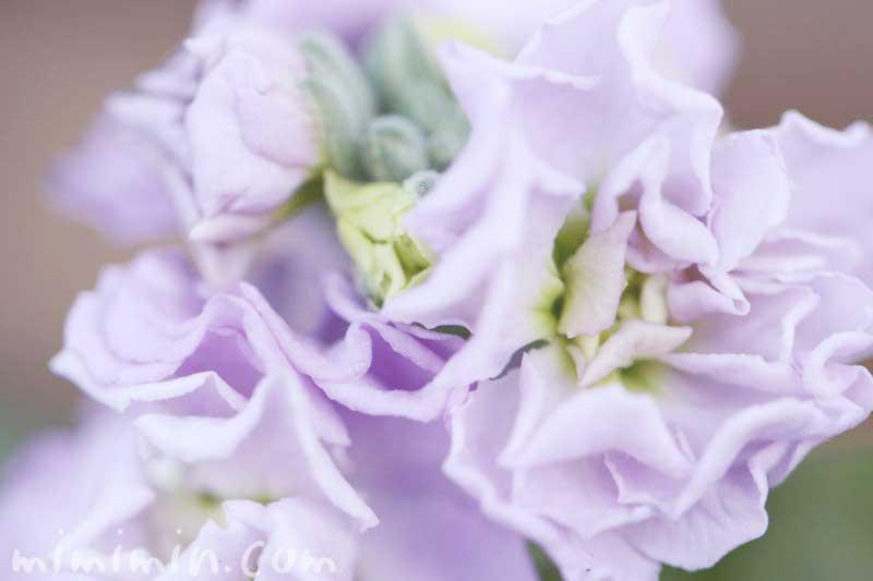 紫のストックの写真と花言葉の画像