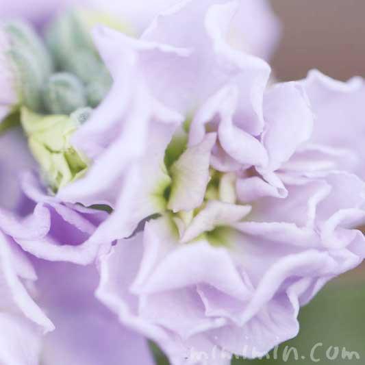 紫のストックの花の写真・ストックの花言葉の画像