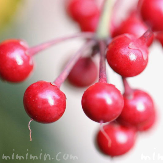 マンリョウの花言葉・マンリョウの赤い実の写真の画像