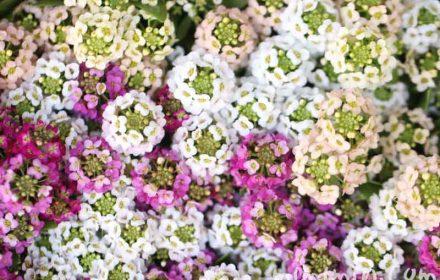 アリッサムの花言葉の写真