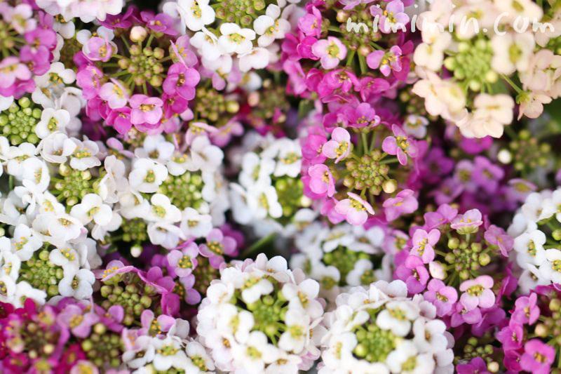 スイート アリッサムの花言葉の画像