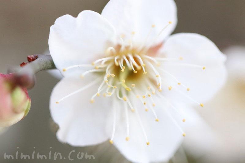白梅の写真・梅の花言葉の写真
