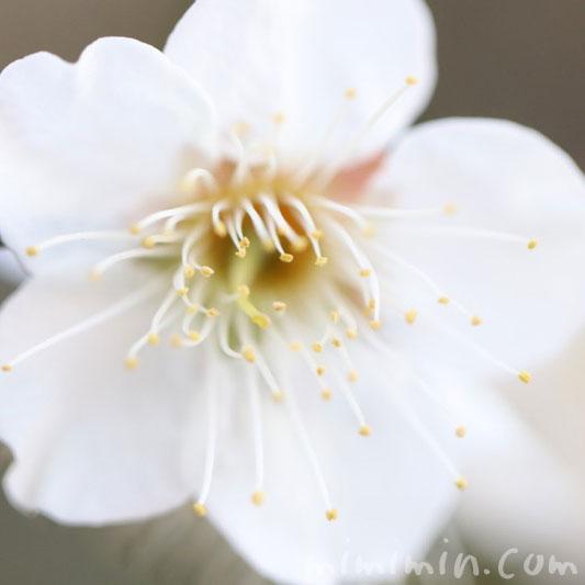 白い梅・花の写真と花言葉の画像