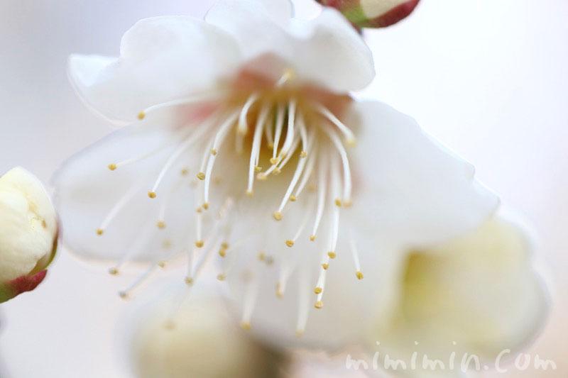 白い梅の花の写真と花言葉