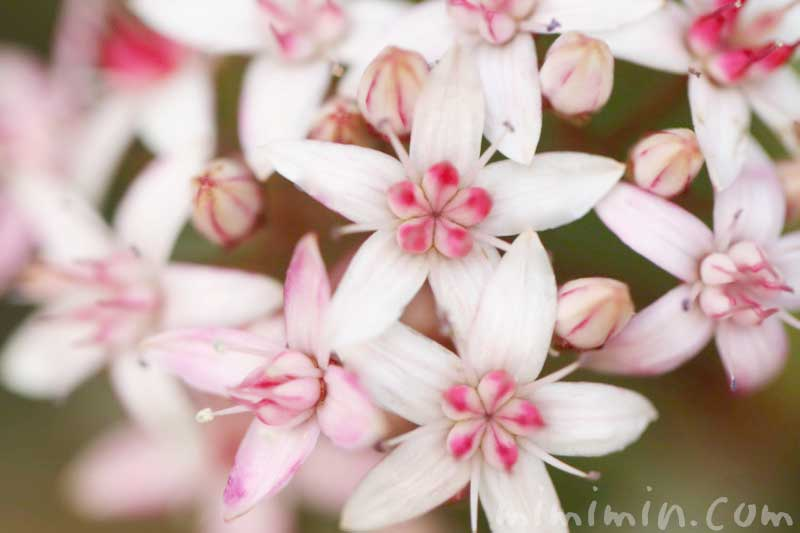 金のなる木の花の写真・花言葉・名前の由来の画像