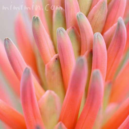 アロエの写真 花言葉と誕生花の画像