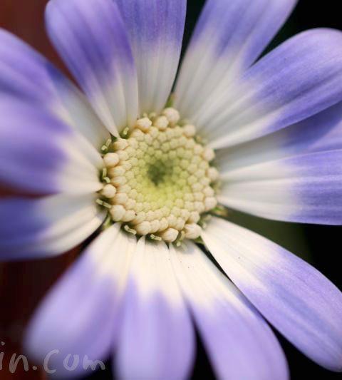 サイネリア(シネリア)の花の写真・花言葉