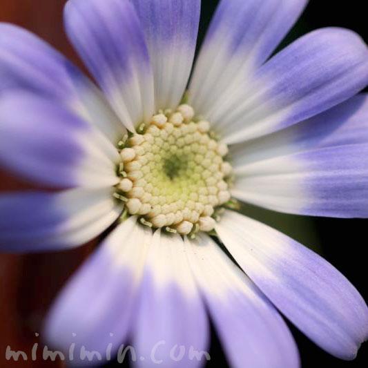 サイネリア(シネリア)の花の写真