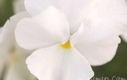 パンジー バレンタインデーに贈る花の画像