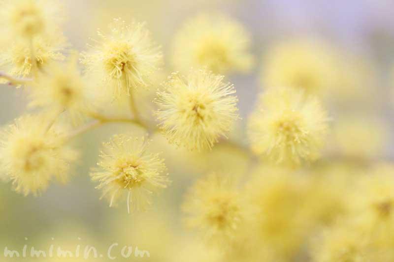 ミモザアカシア(ギンヨウアカシア)の写真・花言葉の画像