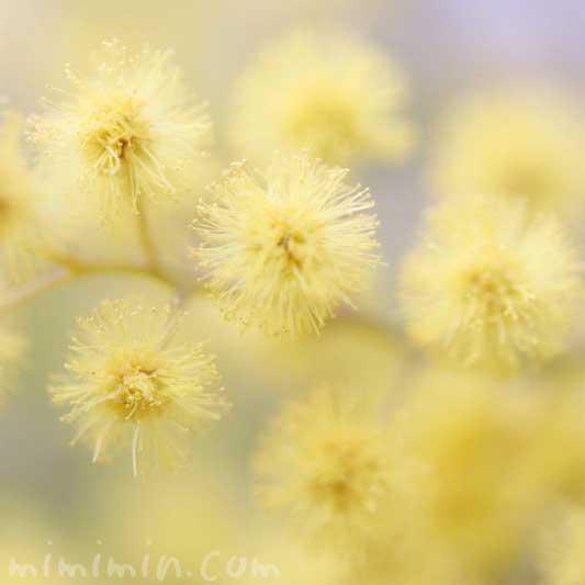 ミモザアカシア(ギンヨウアカシア)の花言葉の画像