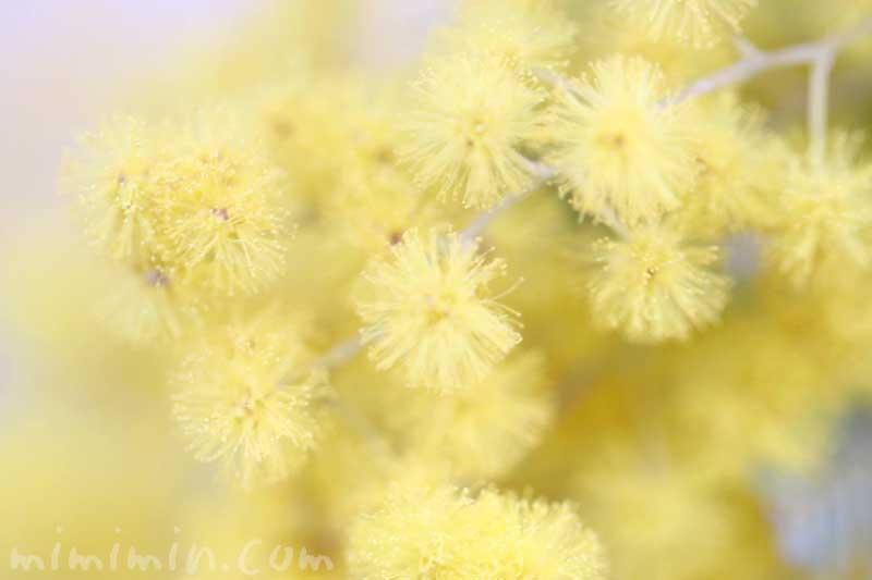 ミモザアカシア(ギンヨウアカシア)の花の写真・花言葉の画像