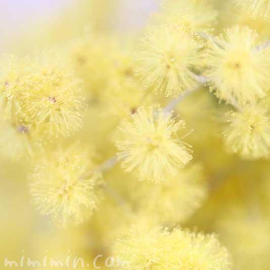 ミモザアカシア(ギンヨウアカシア)の写真と花言葉