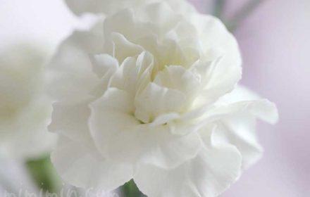 白いカーネンションの花