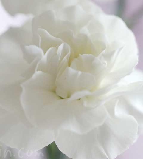 カーネーションの花言葉(色別)・誕生花