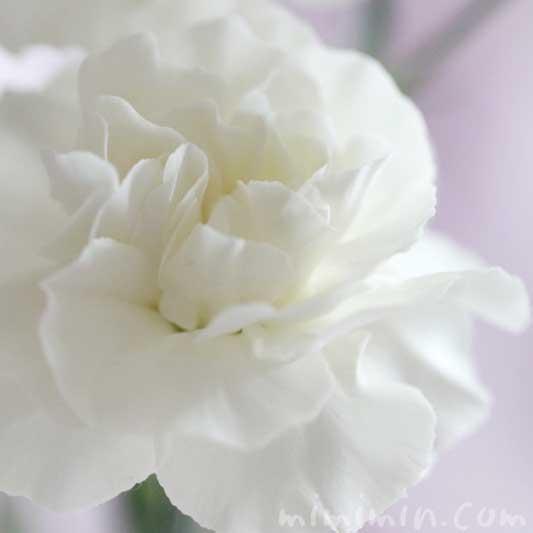 白いカーネンションの写真と花言葉