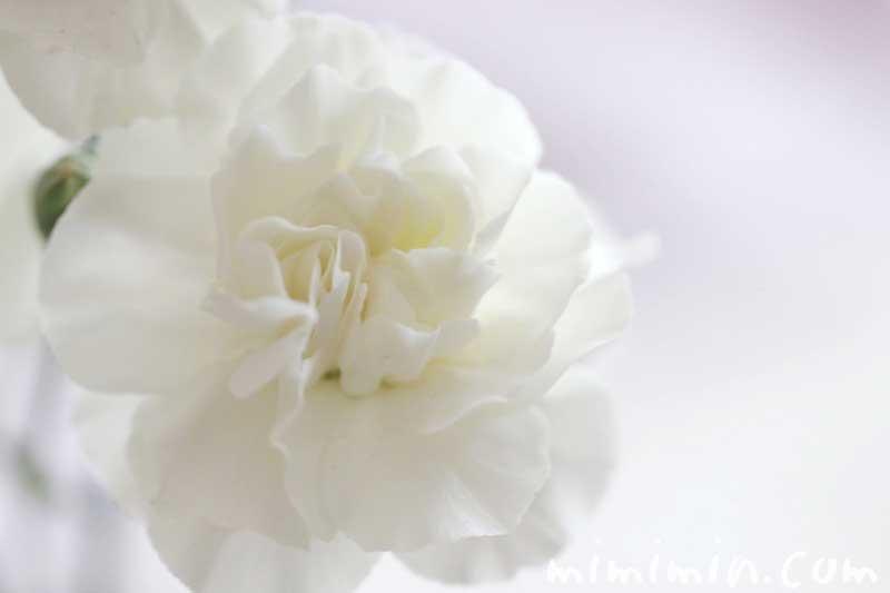 カーネンションの花 白色の画像