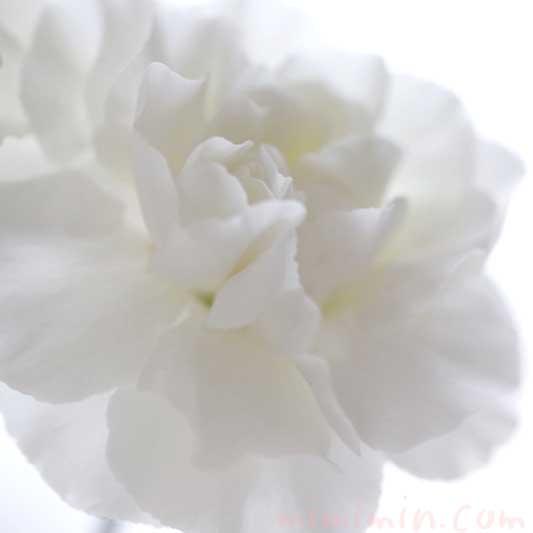 白いカーネンションの花の写真と花言葉の画像