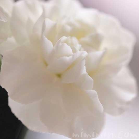 白いカーネンションの写真 花言葉の画像