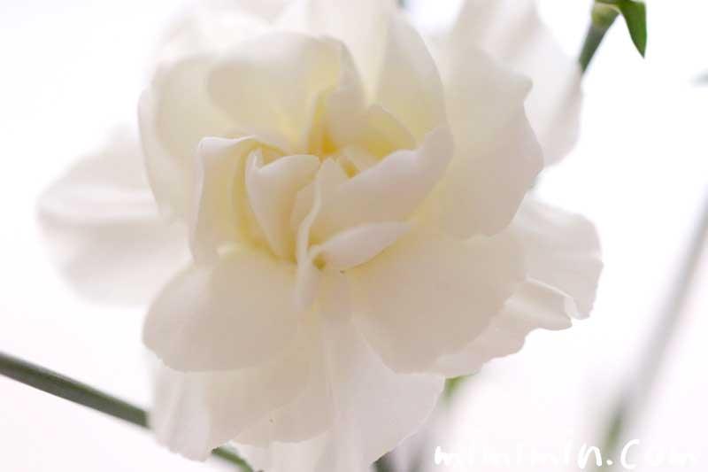白いカーネンションの画像