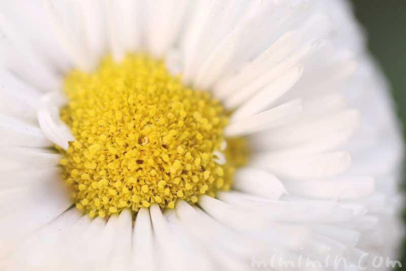 ヒナギク(白)の写真と花言葉の画像