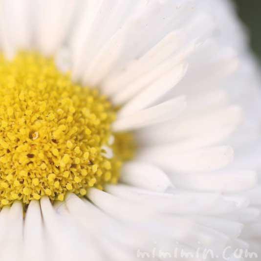 デージー(白)の花の写真 花言葉の画像