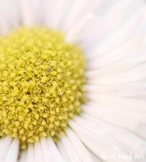 デージー(デイジー)の花言葉・名前の由来・誕生花