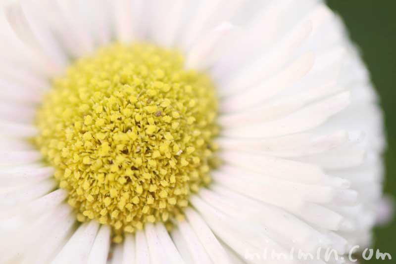 白いデイジーの花の写真 花言葉の画像
