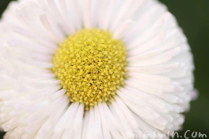 雛菊(白)の花の写真 花言葉の画像