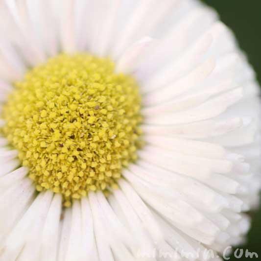 デージー(白)の写真と花言葉の画像