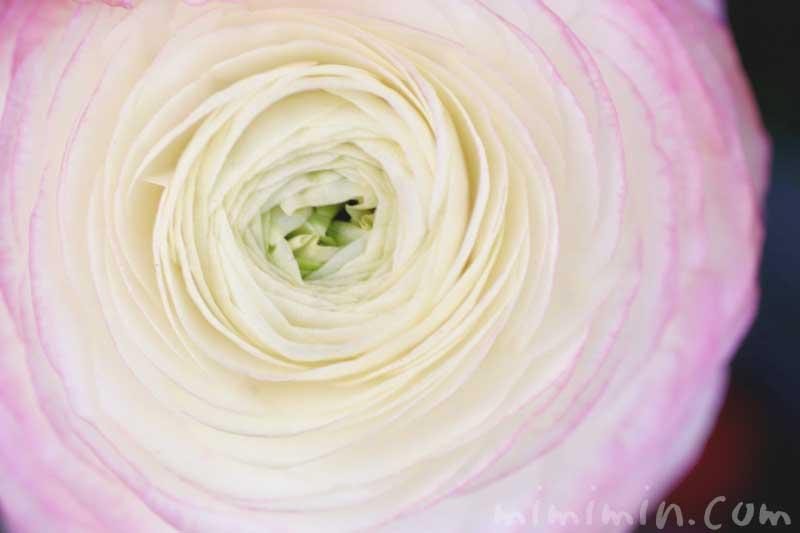ラナンキュラスの花の写真と花言葉と誕生花の画像