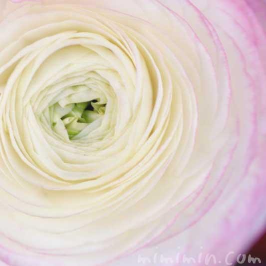 ラナンキュラスの写真と花言葉と誕生花の画像