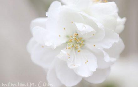白い花桃の写真・花言葉の画像